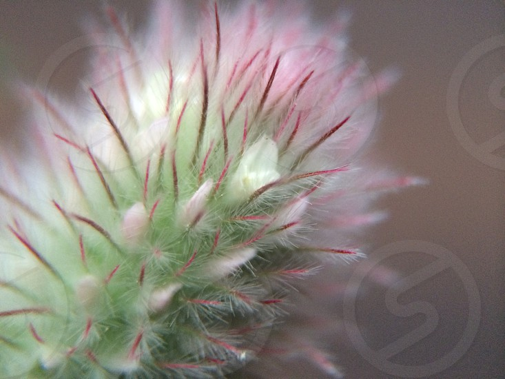 Fuzzy flower stalk.  photo