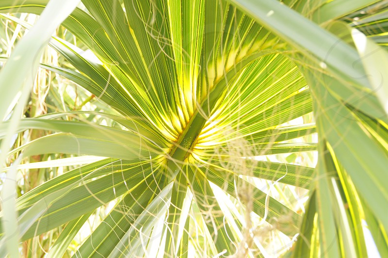 palm tree green yellow nature florida summer vacation leaves vacation tropical sunlight beach  photo