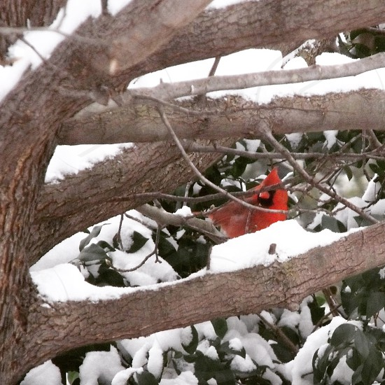 Outdoor. Cardinal. Tree. Snow. Winter. Red.  photo