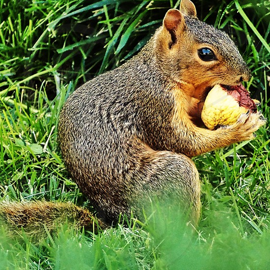 brown squirrel eating photo