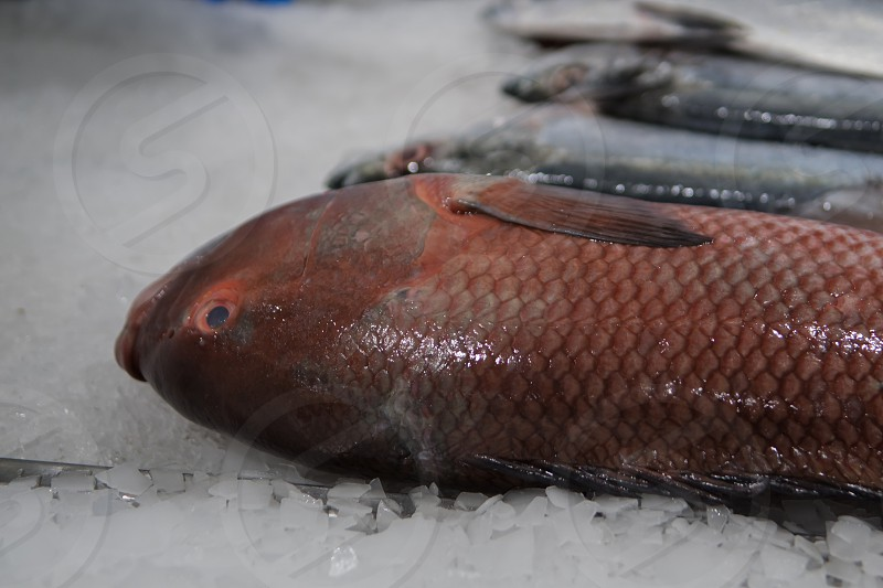 A large red fresh fish on display at the modern fish market located in Dubai photo