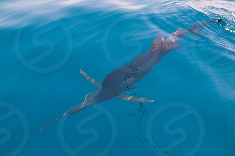 Sailfish sportfishing close to the boat with fishing line under surface photo
