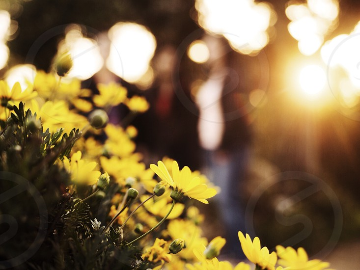 yellow outdoor flowers focal photography  photo