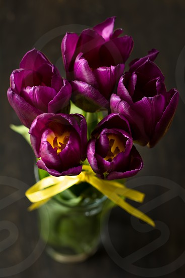 tulips spring flowers plant purple margenta dark background selective focus photo