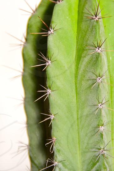 Cactus White background  photo