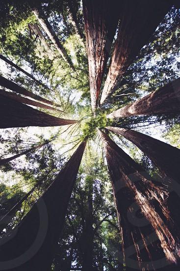 redwood treas photo