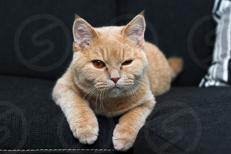 The cute tabby cat is lying on the sofa relaxing and blinking at you.  photo