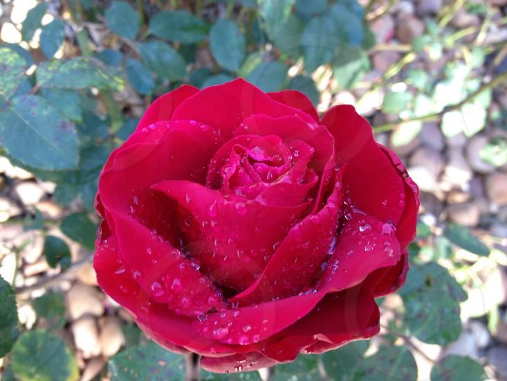 Dewy Rose photo