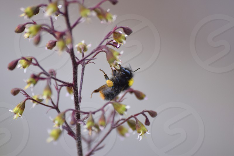 A bee falling off of a plant when collecting pollen photo