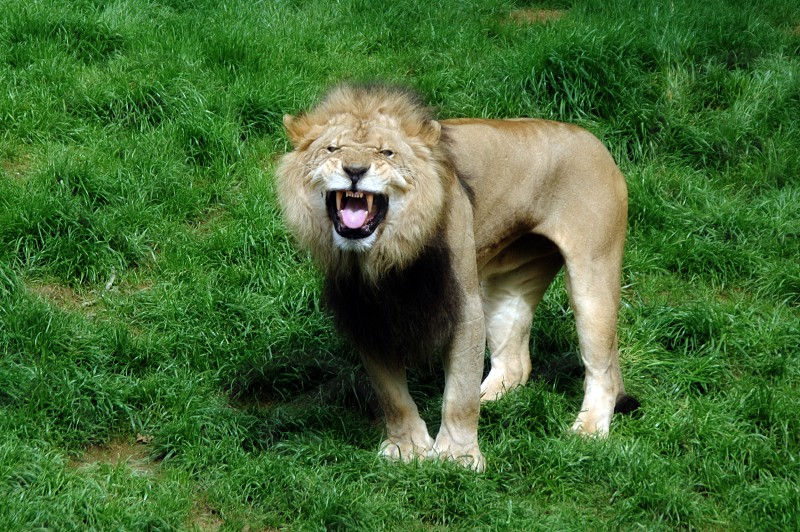 An adult male lion showing his teeth photo