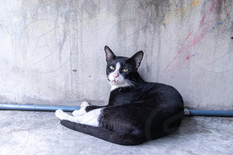 portrait stray black cat lying on grunge cement wall photo