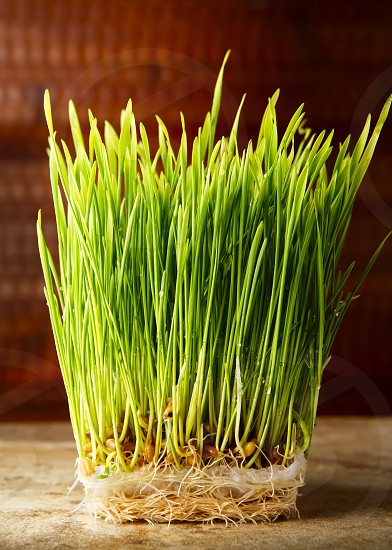 The color green: wheat grass photo