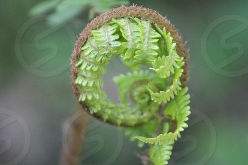 Beautiful new life of the Fern photo