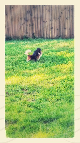 My doggies play fighting in the backyard photo
