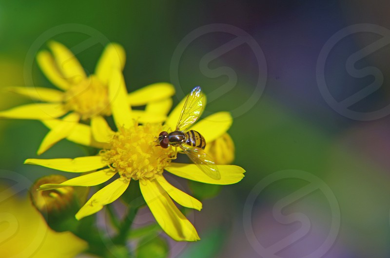 sweat bee with iridescent wings on small yellow daisy photo