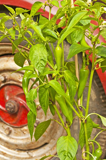 chili plant with old farm truck photo