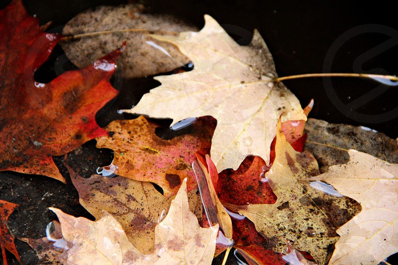 maple leaves on body of water photo