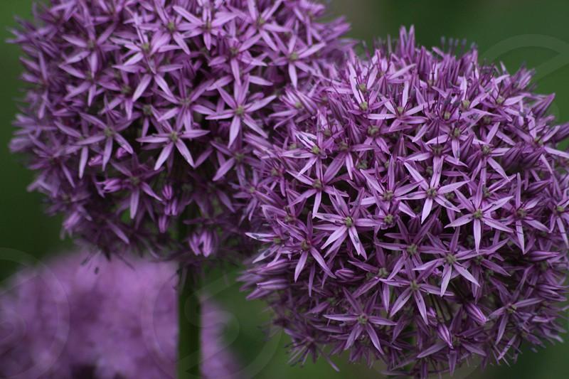Purple Petals photo