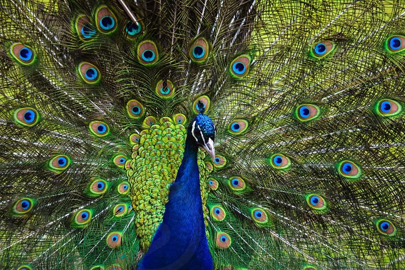 Peacock Tail Feathers photo