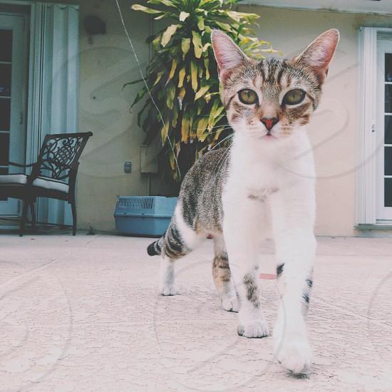 gray and white cat walking forward photo
