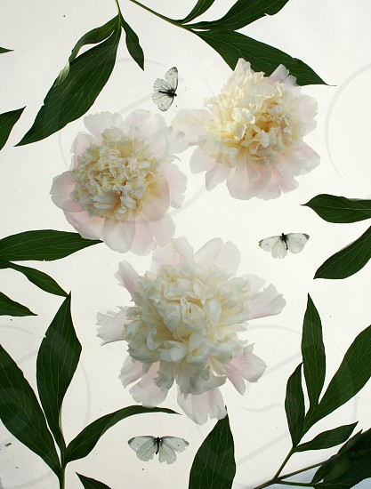White peonies photo
