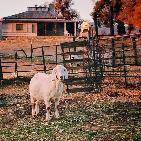 white cow photo
