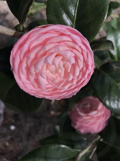 Camellia flower Spring pink pink flower garden photo