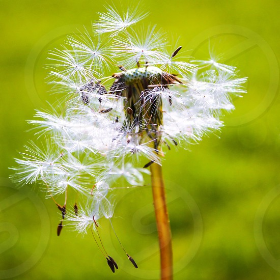 The many seeds in a dandelion blow make a wish and new life has begun.  photo