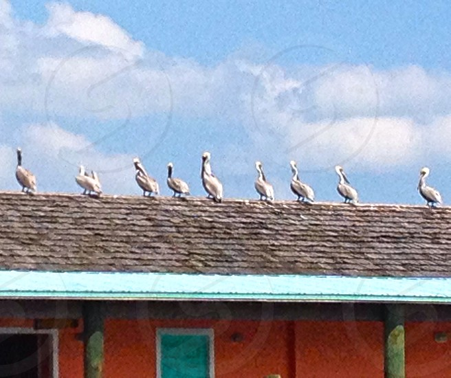 pelicans on a roof photo