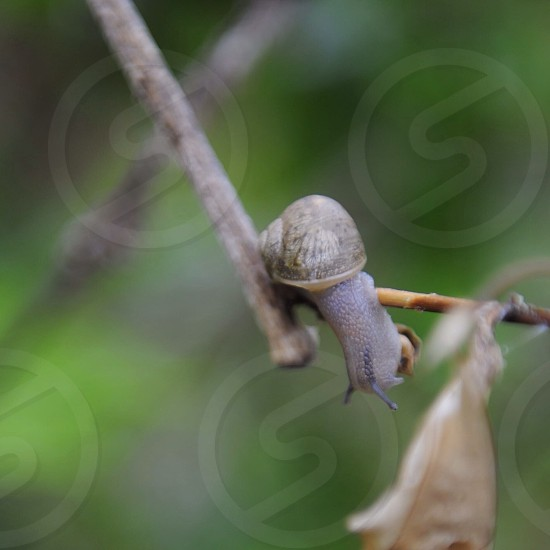 brown snail with shell photo