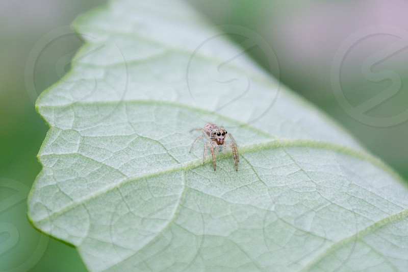 Jumping spider about the size of a pin head photo
