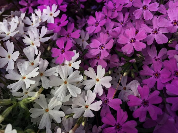 Purple white flowers outdoor park garden photo