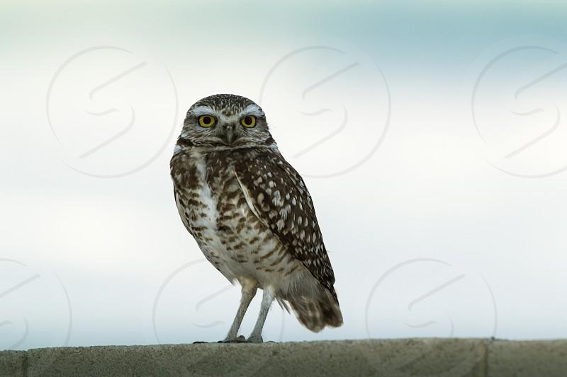 Burrowing Owl in Phoenix Arizona photo