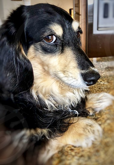 Long Haired Black And Cream Dachshund Head Shot Very Inquisitive Funny Dogs Expressive Dogs Dog Canine Pet Puppy Clever Thought Provoking Marketing Pets Unique Head Shot Dachshunds By Jean Morgan Photo Stock