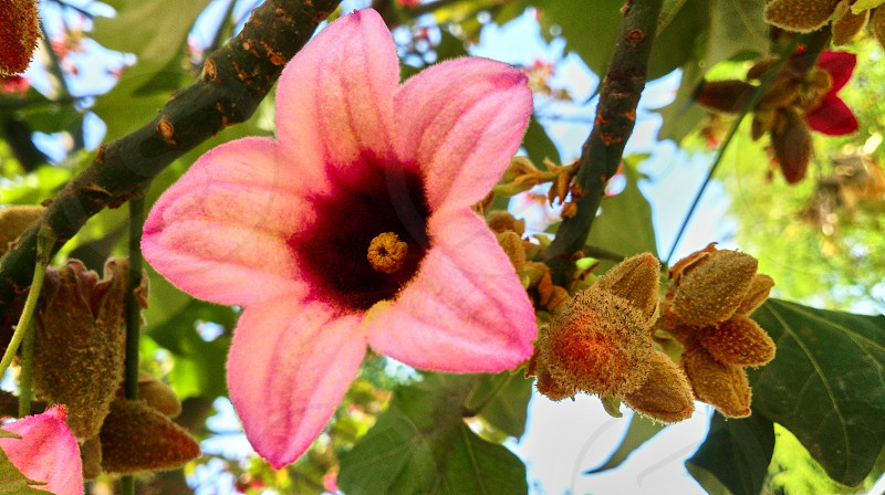 Beautiful big pink flower on a tree in Israel photo