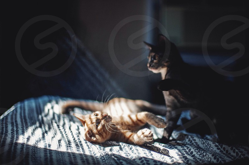 brown and black kittens playing with each other photo