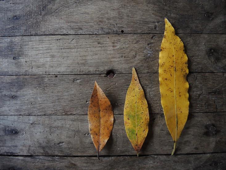 brown 3 dry leaves photo