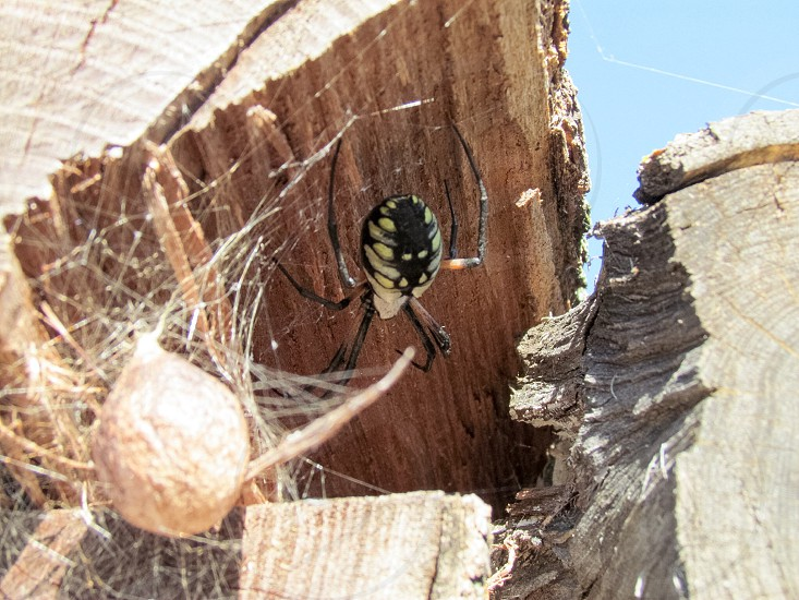Spider with egg sack and web built in firewood photo