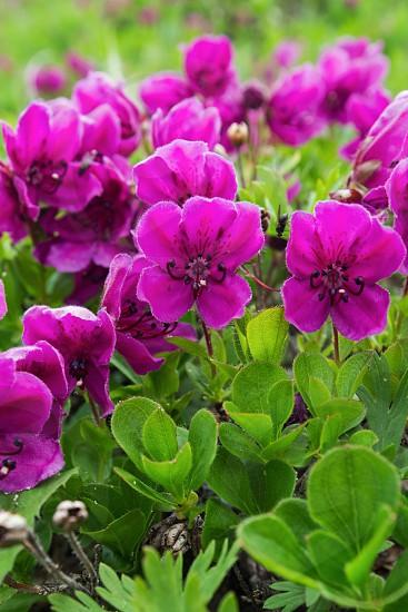 Flora of Kamchatka Peninsula: beauty purple flowers Rhododendron camtschaticum. Eurasia Russian Far East Kamchatka Region. photo