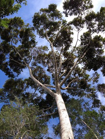 Ficus Tree photo