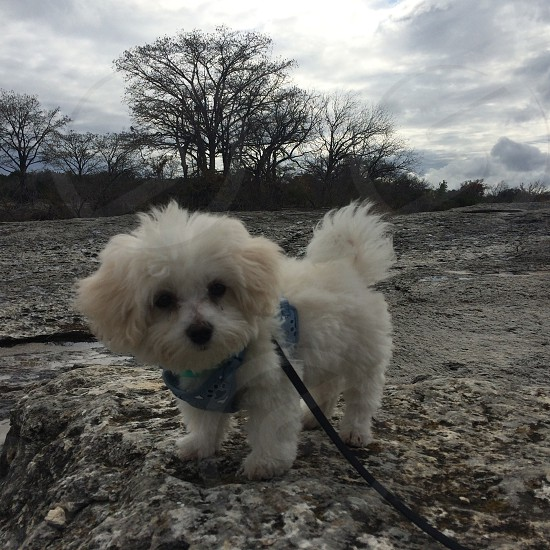 medium size curl coat white dog with black leash standing on beige rock under gray sky photo