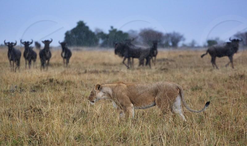 Lioness wild world. Big cats.  photo