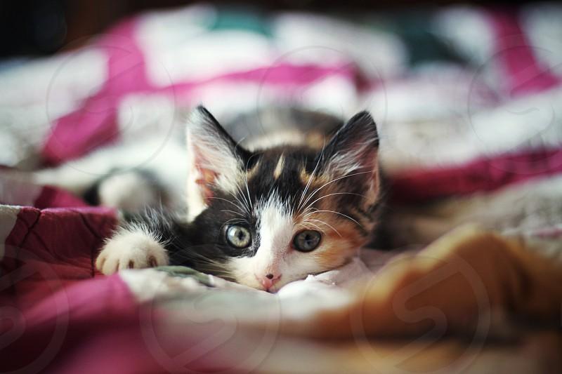 calico kitten photo