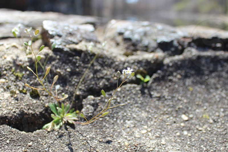 Upclose Flowers Growing From Cement. flowers small white rock old cracked white flowers nature photo