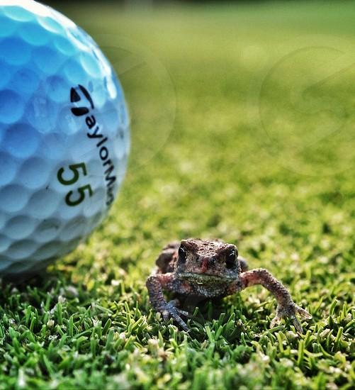 Frog ball golf green grass photo