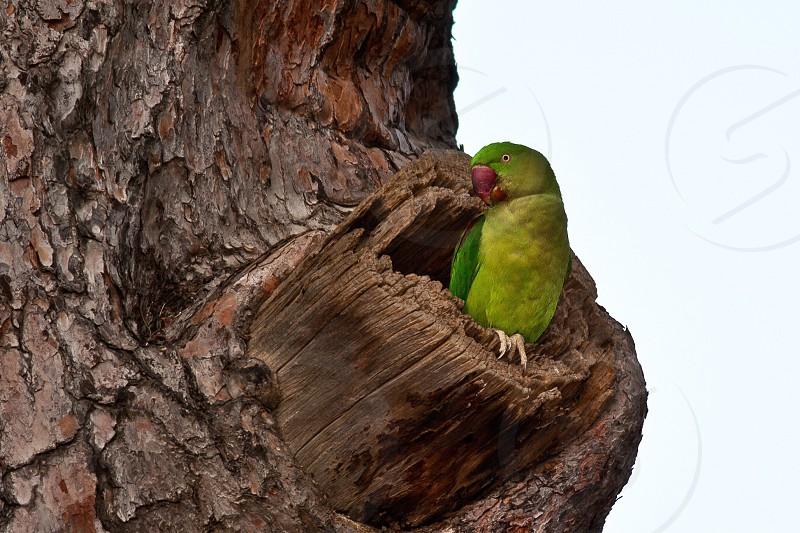 Green parrot from Anatolia photo