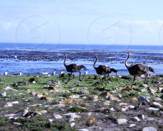3 ostrich running on ocean seashore photography  photo