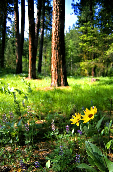 Blooming wildflowers in a Pine forest. photo
