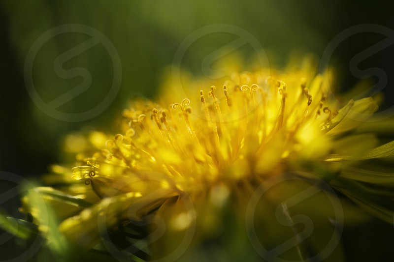 abstract and background beautiful beauty black blooming blossom botany brown close closeup dainty dandelion dandilion dandylion delicate detail fauna flora flower fragile fragility fresh head lightweight macro nature outdoors parachute petite plant pollen pollinate puff round season seed single soft spring stem structure summer texture weed white wild photo