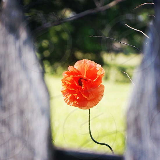 The flower and the fence. photo